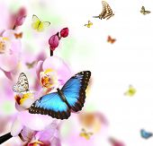 image of blue butterfly  - Butterflies on blossoms of orchid - JPG