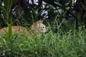 Young Kitty In Green Grass. Cute Cat In Summer Garden. Domestic Pet Hunt And Relax Outdoor. Orange C poster