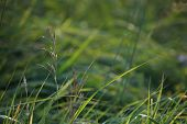 Closeup Of Green Field.bent On A Green Grass.  Meadow With Bent. Wild Grass. Nature Meadow In Latvia poster