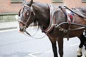 picture of blinders  - A horse with harness for a carriage in the city - JPG