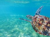 Sea Turtle Closeup In Blue Sea. Sea Turtle In Tropical Seashore, Underwater Photo Of Marine Wildlife poster