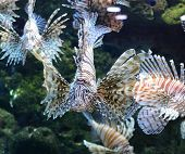 foto of coral reefs  - view of red lion fish - JPG