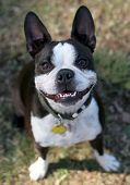 foto of rabies  - A cute Boston Terrier smiles at the dog park - JPG