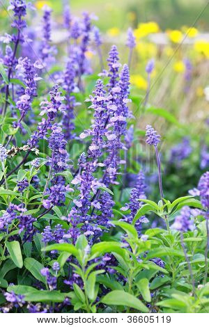 Blue Salvia (meadow Sage)