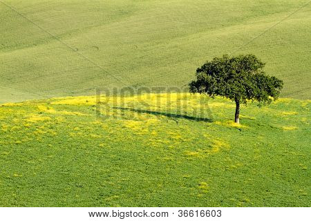 Lonley tree in field Val d'Orcia, Tuscany, Italy