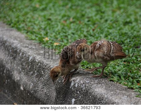 Blue Peafowl Chicks (pavo Cristatus) Crossing A Road