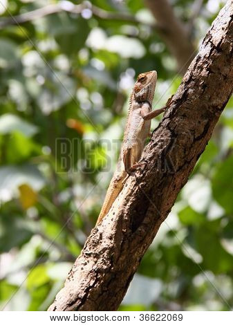 Basking Oriental Garden Lizard On Branch
