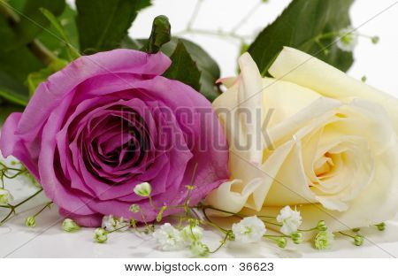 Violet And White Rose