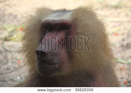 Baboon Face Side