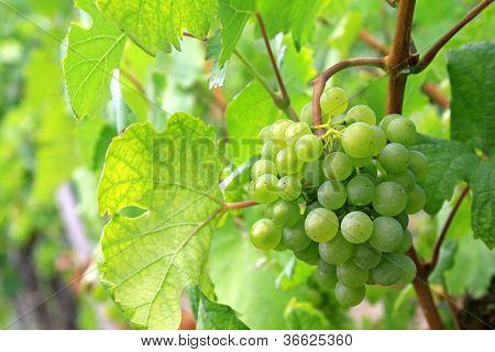 Green mellow and ripe white wine Grapes in Durnstein vineyard, Wachau Valley, Austria