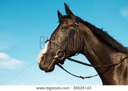 Horse Head Portrait Over Blue Sky Background