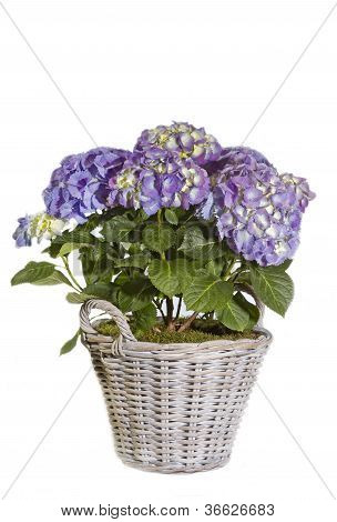 Purple Hydrangea flower in a pot