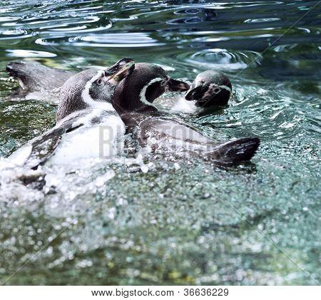 Humboldt Penguin Also Termed Peruvian Penguin