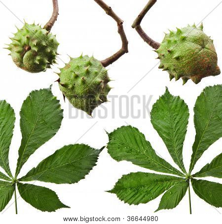 Leaves of horse chestnut tree and Conkers in shell isolated on a white background