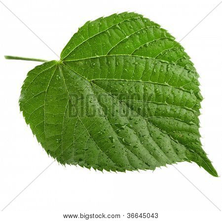 Linden leaf with water drops isolated on white