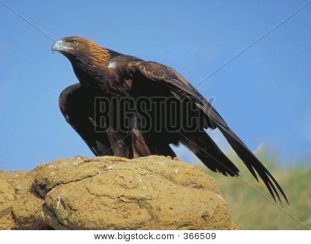 Golden Eagle  Looking For Prey