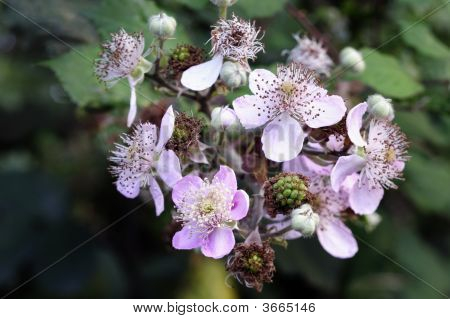 Flowering Blackberries (Rubus Fruticosus) Or Brambles In The Early Autumn Or Fall