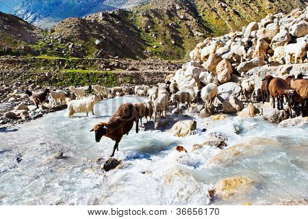 Sheep flock in the mountainous area