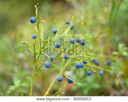 Bilberry In The Wood