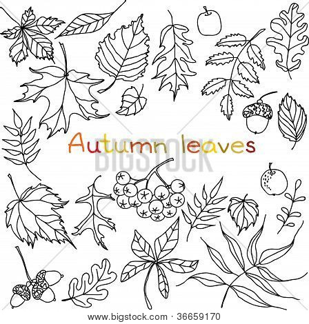 Autumn Leaves Drawings Hand Drawn Autumn Leaves