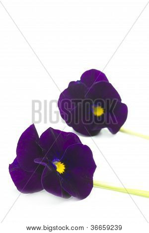 Two viola cornuta flowers on white background