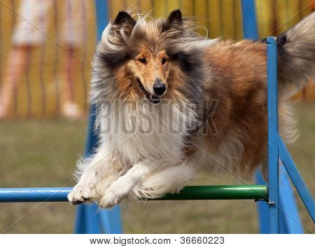 Jumping Collie