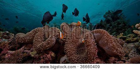 panoramic anemone