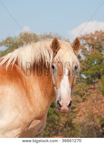 Beautiful Belgian draft horse looking at the viewer in sunshine