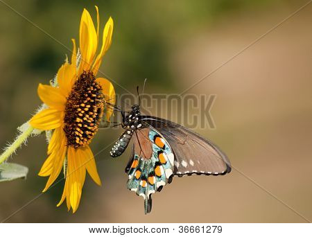 Pipevine Swallowtail butterfly feeding on a wild Sunflower floret
