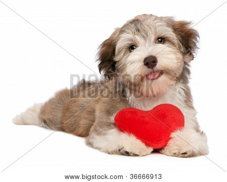Lover Valentine Chocolate Havanese