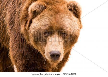 Brown Bear Close-Up Portrait