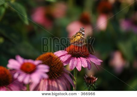 Butterfly 16