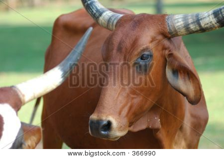 Cattle 9