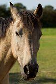 Buying a connemara pony
