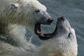 stock photo of polar bears  - taken at cochrane i was up front and personal with the polar bears - JPG