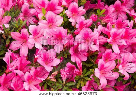 Flower Of Azalea Pink