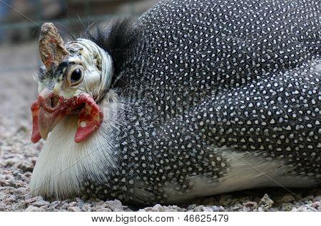 Retrato do close-up de uma galinha pintada (Numida meleagris), África do Sul
