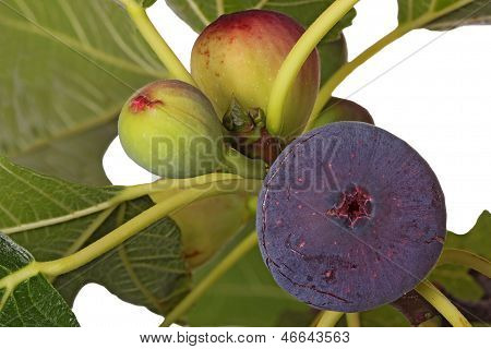 Ripe And Unripe Figs On A Tree