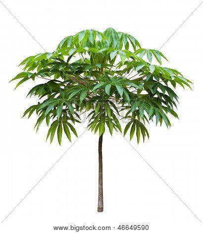 Young Bastard Poom Tree