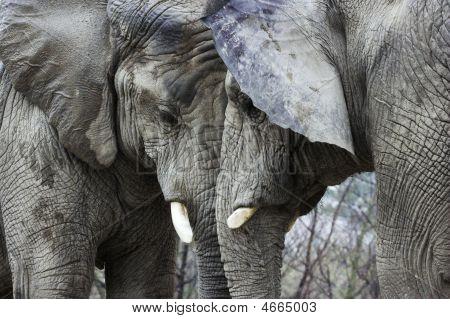 Elephants Butting Head