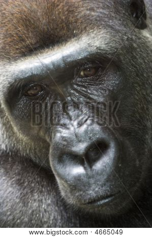 Close Up Of Lowland Gorilla