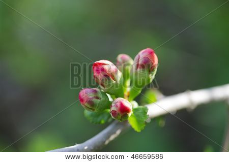 Dehiscing On Japanese Quince Bud