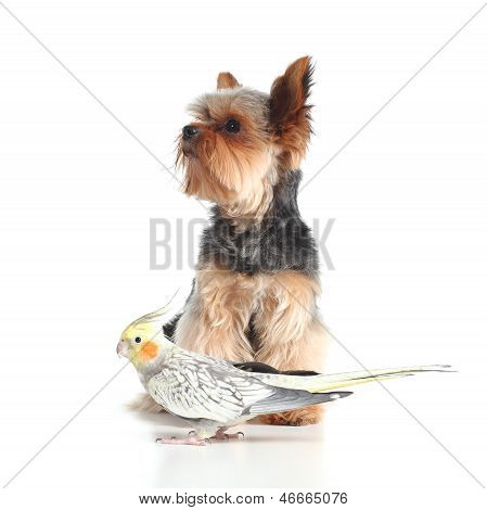 Pets Yorkshire Terrier Dog And Cockatiel Bird Posing Together
