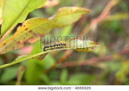 Caterpillar On A Leaf
