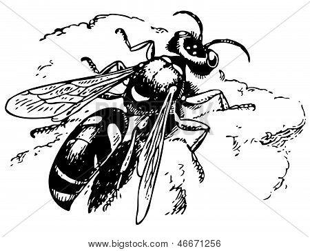 Spiny Digger Wasp Crabro