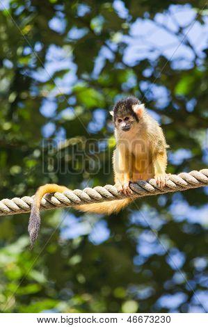 A squirrel monkey sitting on a rope