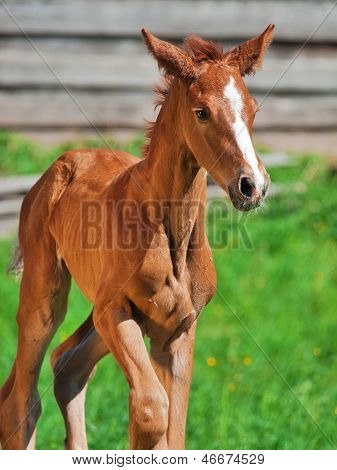 Running Little Chestnut Foal Of Sportive Breed