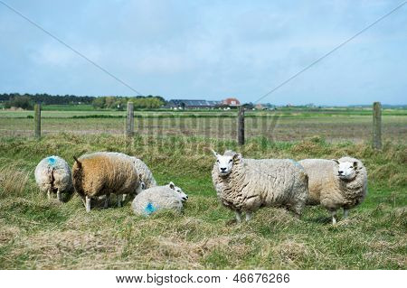 Sheep at Dutch wadden island Texel