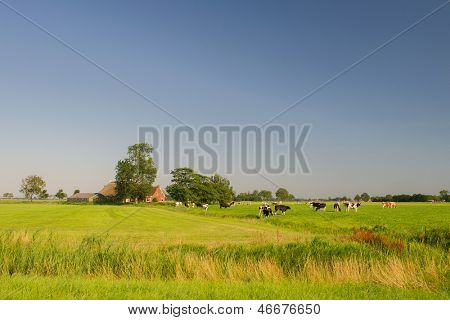 Dutch landscape in Friesland with farm house and cows