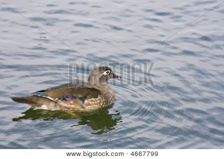 Female Wood Duck Aiz Sponsa